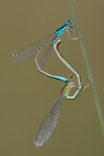 Kleine Pechlibelle (Paar)