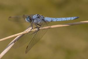 Südlicher Blaupfeil (Männchen)