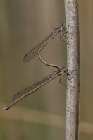 Sibirische Winterlibelle (Männchen)
