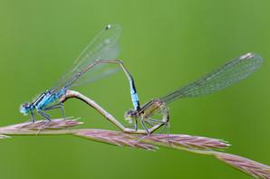 Große Pechlibelle (Paar)