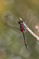 Kleine Moosjungfer (Männchen)