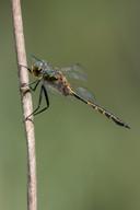 Gefleckte Smaragdlibelle (Männchen)