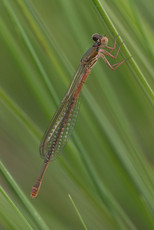 Späte Adonislibelle (Weibchen)