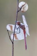 Gebänderte Heidelibelle (Männchen)