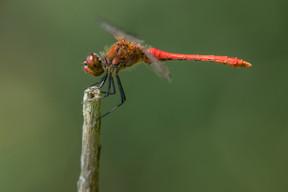 Blutrote Heidelibelle (Männchen)