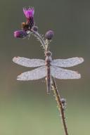 Kleiner Blaupfeil (Weibchen)