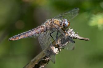 Spitzenfleck (Weibchen)