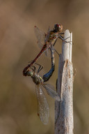 Große Heidelibelle (Paar)