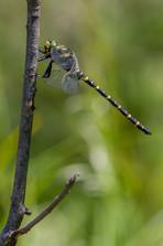 Zweigestreifte Quelljungfer (Männchen)