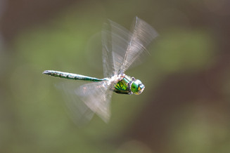 Glänzende Smaragdlibelle (Männchen)
