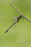 Gestreifte Quelljungfer (Männchen)
