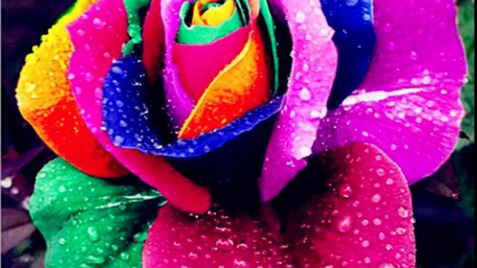 Gekleurde roos