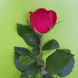 Rosa simples.