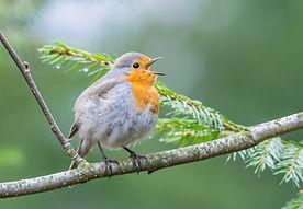 oiseau qui chante.jpg