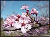 fleur de prunier.jpg