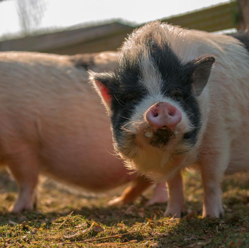Unsere Schweine finden die Kids Toll