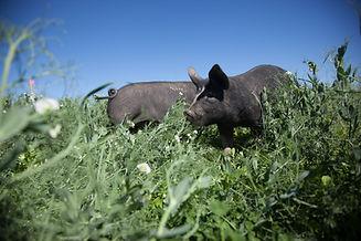 Pigs deployment-20180711-13.jpg