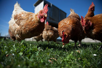 TFN Farm School Chickens-20160331-12.jpg