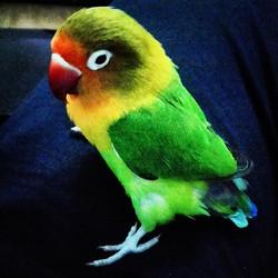 Instagram - Cici kuş fıstık :) #Fischer #Parrot #Cennetpapağanı #Papağan