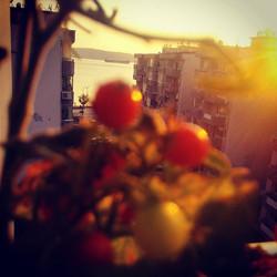 Instagram - Organik saksı domatesi bunlar  #Cherry #Domates #SaksıDomatesi #Çana
