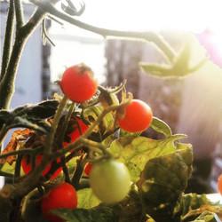 Instagram - Organik saksı domatesi  #Cherry #Domates #SaksıDomatesi #ÇanakkaleBo
