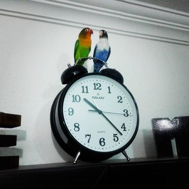 Instagram - #LoveBirds #Parrot #Time #Cennetpapağanı #Papağan #Çanakkale