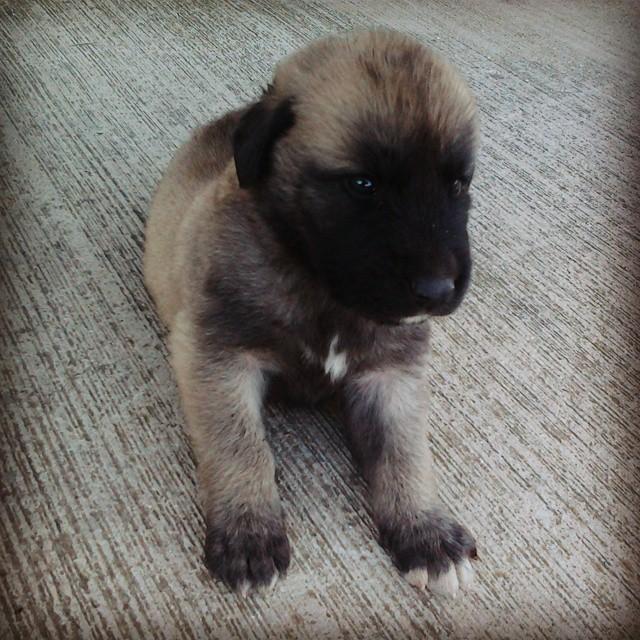 Instagram - Sen ne çirkin birşeysin :) #Köpek #Dog #Kangal #Yavruköpek #Çanakkal