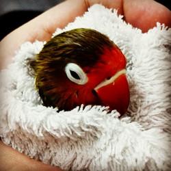 Instagram - Bıcı bıcı yaptık :) #LoveBird #Fischer #Parrot #Bird #Cennetpapağanı