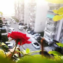 Instagram - Balkon gülü  #Gül #Roze #RedRoze #ÇanakkaleBoğazı #Çanakkale #Yeniko