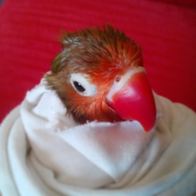 Instagram - Bıcı bıcı yaptık :) #Cennetpapağanı #Lovebird #Fischerverde