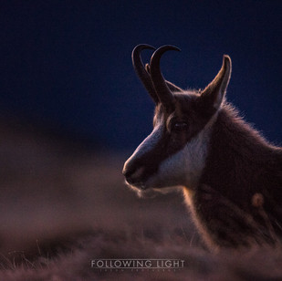 Chamois in the Moonlight