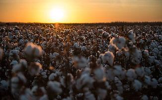cotton2.jpeg