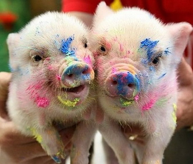 35-Cute-Miniature-Pig-Pictures-17