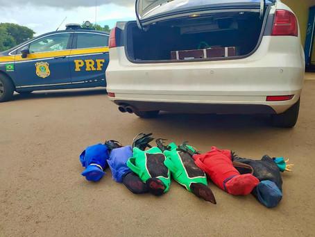 PRF prende prefeito transportando galos de rinha em veículo oficial da Prefeitura