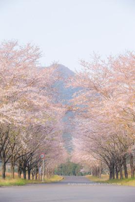 小林市 まきばの桜