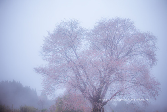 国富町 一本桜
