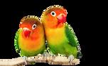 Lovebirds_edited.png