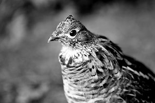Grouse Call Poem By Chard deNiord