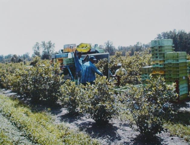 Сборщики, которые тянут маленькие трактора, до сих пор встречаются на маленьких фермах, которые продают свои ягоды на ферме или напрямую на переработку.