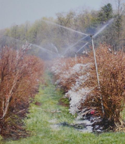 """Полив """"сверху"""" может использоваться для защиты от весенних заморозков до, в течение и после цветения. Эти системы как правило защищают до температуры около 23 F (-5 C), создавая слой льда и поддерживая его влажным. Температура, при которой система должна быть включена, определяется в зависимости от мощности и текущих погодных условий. Систему нужно оставить включенной до того, как начнет таять лед, когда температура выше замерзания. На фотографии сверху лед на солнечной стороне растаял, но еще о"""