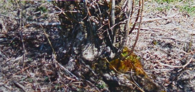 Этот 50-летний куст голубики был сужен машиной для измельчения пней. Это сужение кроны облегчает механический сбор и снижает потери урожая от падения ягод в куст во время сбора.