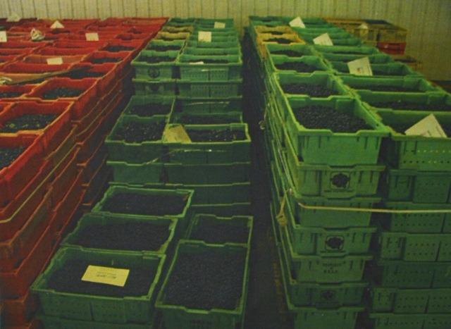 Ягоды помещаются в холодильник для удаления тепла с поля. Здесь фермер охлаждает ягоды в контейнерах, чтобы продлить их срок хранения. Разные цвета - разные фермеры.