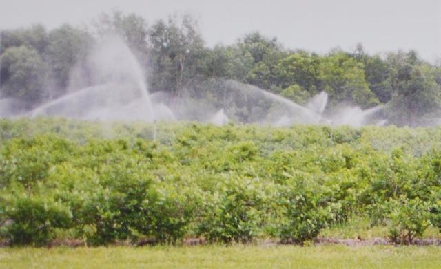 """Все новые плантации голубики имеют полив """"сверху"""". Несмотря на то, что эта система дорогая, она позволяет производителям защищать растения от заморозков во время цветения и вносить большой объем воды во время сезона, когда засуха может снизить размер ягод и затормозить растение."""