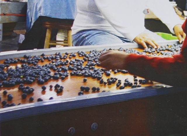 Ягоды поступают на ленту для инспекции, где работники убирают поврежденные ягоды.