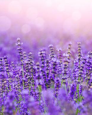 Lavendel skaliert.jpg