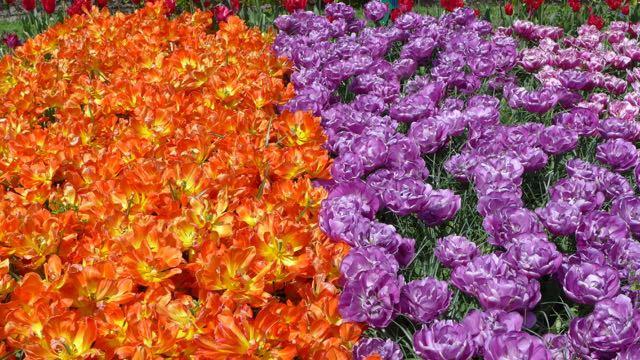 Jardim de tulipas na Holanda_Keukenhof_A Ciagem Certa_dicas da holanda - 13 (1)