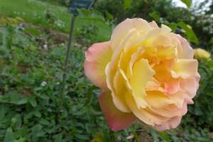 Rosas Jardin des Plantes 8