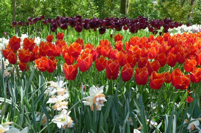 Jardim de tulipas na Holanda_Keukenhof_A Ciagem Certa_dicas da holanda - 1 (1)