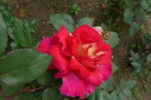 Rosas Jardin des Plantes 15