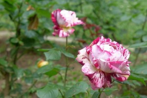 Rosas Jardin des Plantes 16